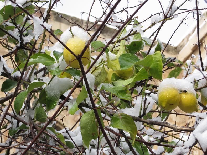 Snow on lemon tree