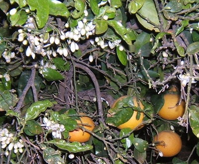 Citrus_grove_east_of_ashdod